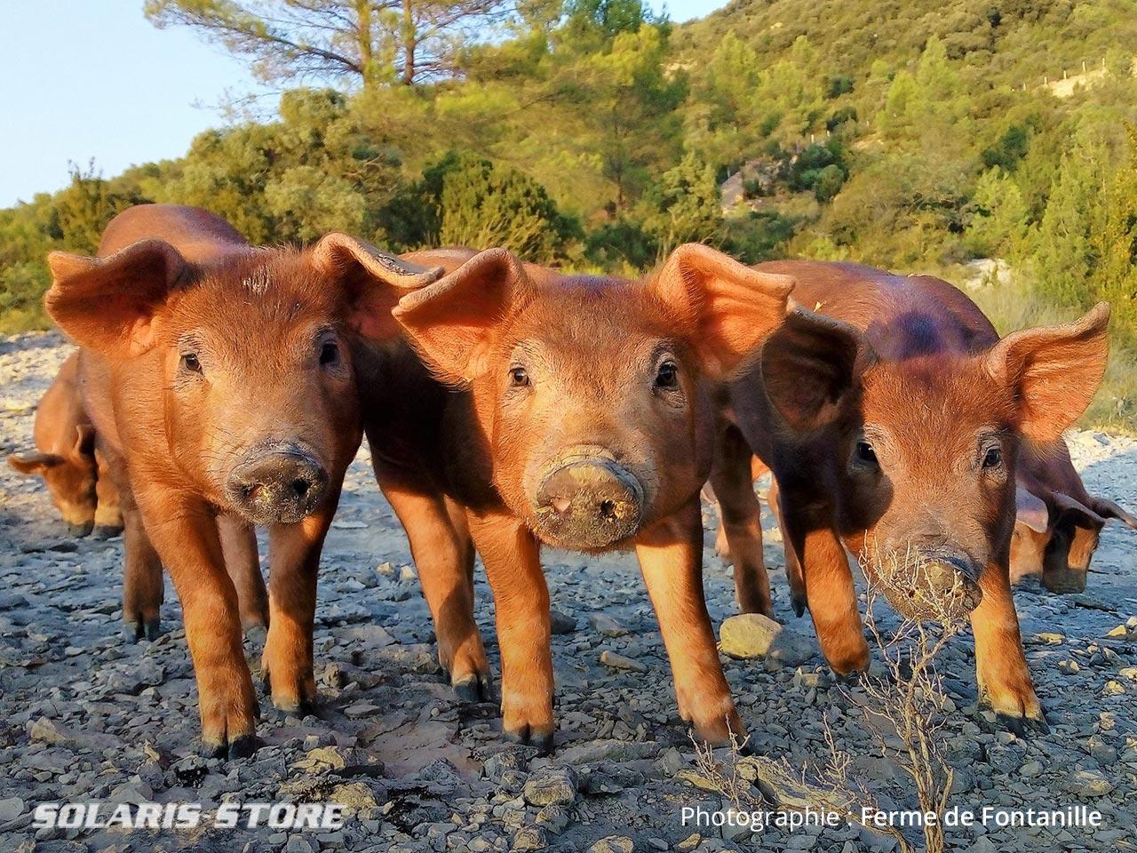 Élevage de cochons américains roux de race Duroc