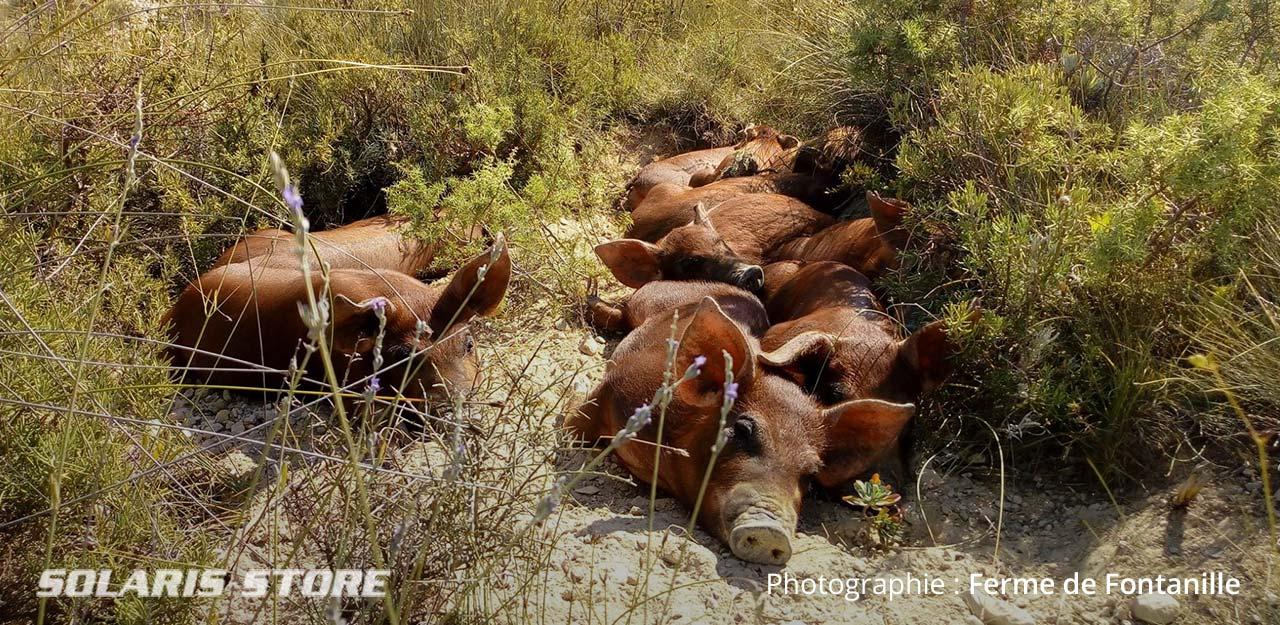 Porc élevé en plein air et fini à la châtaigne des Cevennes